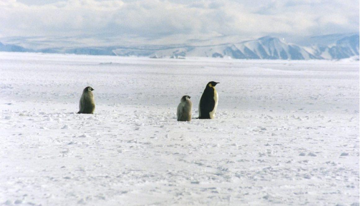 Emperor_penguin_2_chicks_and_a_parent