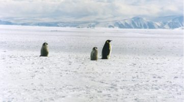 Emperor_penguin_2_chicks_and_a_parent
