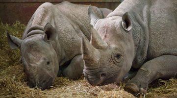 two_rhinos_192483